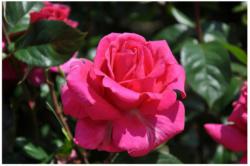 Edelrose rosa, C3 Topf 3