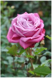 Edelrose lila, C3 Topf 3 L