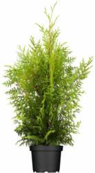 "Lebensbaum ""Brabant"" 50-60 cm, Ballenware Ballenware"