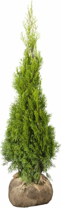 "Lebensbaum ""Smaragd"" 50-60 cm, Ballenware Ballenware"
