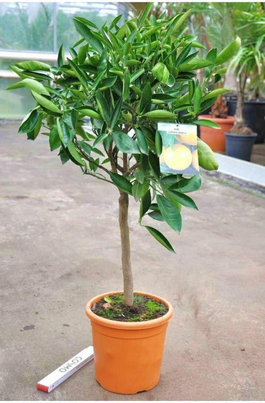 """Orangenbaum """"Tangelo Mapo"""""""