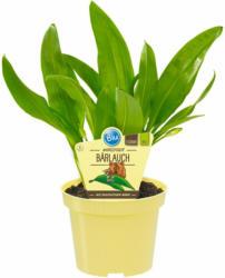 Bio-Bärlauch Topf-Ø ca. 11 cm Allium