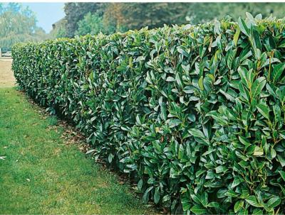 "OBI Kirschlorbeer ""Novita"" Höhe ca. 50 - 60 cm Topf ca. 5 l Prunus"