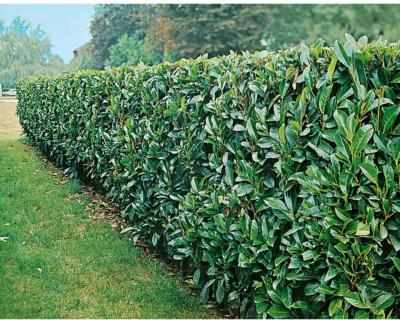 "OBI Kirschlorbeer ""Caucasica"" Höhe ca. 40 - 60 cm Topf ca. 3 l Prunus"