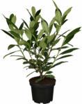 "OBI OBI Kirschlorbeer ""Caucasica"" Höhe ca. 40 - 60 cm Topf ca. 3 l Prunus - bis 30.04.2021"