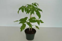"""Veredelte Tomate """"Ochsenherz"""", 12 cm Topf"""