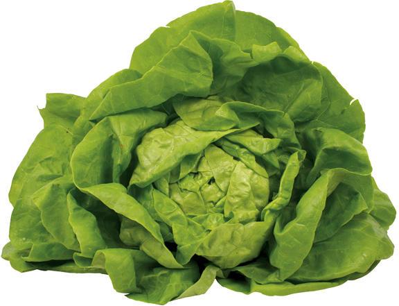 Salat - Kopfsalat