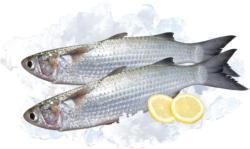 Meeräsche / Kefal (Mugil saliens) frisch.