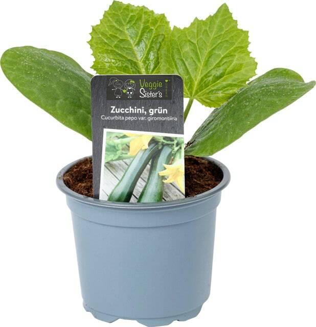 Gemüsepflanzen - 3 Stück