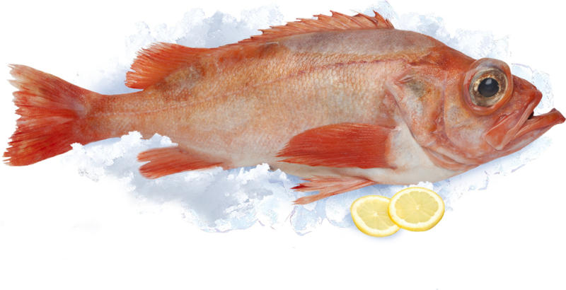 Rotbarsch (Sebastus marinus), frisch