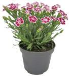 Landi Dianthus Mix P12 cm