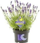 Landi Lavende Hidcote blue P13 cm