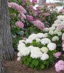 Ihr Gärtner Starkl Hydrangea arb. 'BellaRagazza®' Blanchetta – weiße Zwerg- Schneeballhortensie