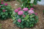 Ihr Gärtner Starkl Hydrangea arb. 'BellaRagazza®' Mauvette – rosa Zwerg- Schneeballhortensie