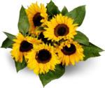Migros Ostschweiz «Aus der Region.» Sonnenblumen