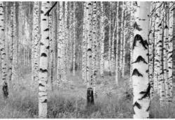 Fototapete Woods ca. 368 x 248 cm