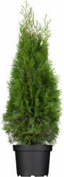 "Lebensbaum ""Smaragd"" Höhe ca. 100 - 120 cm Topf ca. 4 l Thuja occidentalis"