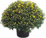 OBI Herbst-Chrysantheme Höhe ca. 40 cm Topf-Ø ca. 19 cm Chrysanthemum indicum - bis 31.10.2021