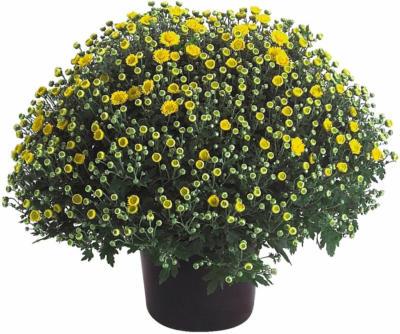 Herbst-Chrysantheme Höhe ca. 40 cm Topf-Ø ca. 19 cm Chrysanthemum indicum