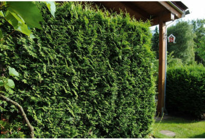 "Lebensbaum ""Brabant"" Höhe ca. 80 - 100 cm Topf ca. 4 l Thuja occidentalis"