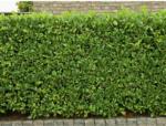 OBI Kirschlorbeer Höhe ca. 50 - 60 cm Topf ca. 3 l Prunus laurocerasus - bis 31.10.2021