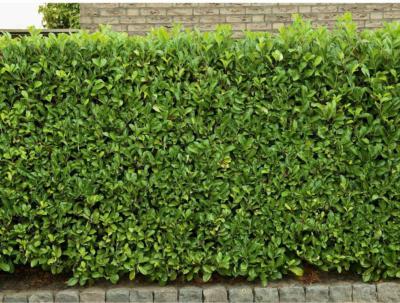 Kirschlorbeer Höhe ca. 50 - 60 cm Topf ca. 3 l Prunus laurocerasus