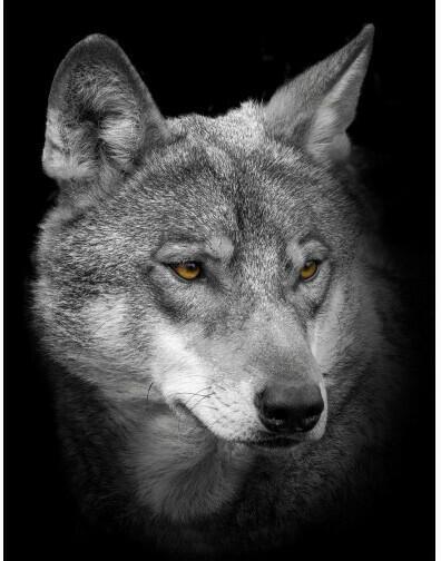 Keilrahmenbild ca. 46x61cm Wolf