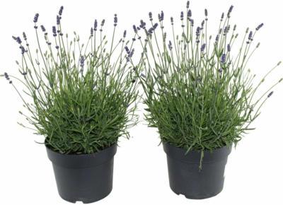 OBI Lavendel sämling Topf-Ø ca. 13 cm Lavandula angustifolia