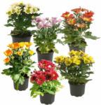 OBI Chrysantheme 1-Trieber Topf-Ø ca. 9 cm  Chrysanthemum - bis 31.10.2021