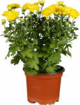 OBI Herbst-Chrysantheme Topf-Ø ca. 11 cm Chrysanthemum - bis 31.10.2021