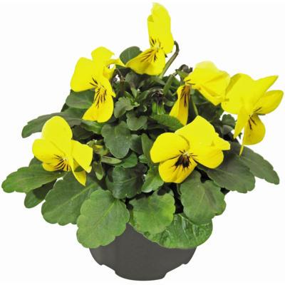 Hornveilchen verschiedene Farben Topf-Ø ca. 9 cm Viola cornuta