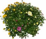 "OBI Herbst-Chrysantheme ""Trio"" Topf-Ø ca. 14 cm Chrysanthemum - bis 31.10.2021"