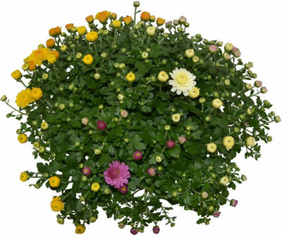 "Herbst-Chrysantheme ""Trio"" Topf-Ø ca. 14 cm Chrysanthemum"