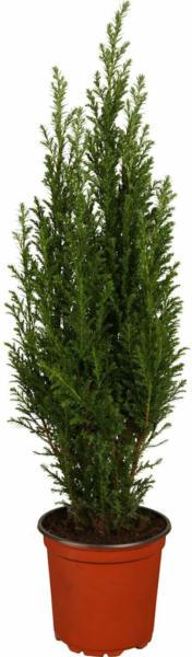 Kleinkoniferen aufrecht Höhe ca. 10 - 20 cm Topf ca. 1 l