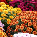 Ihr Gärtner Starkl Kugel-Chrysantheme - bis 30.09.2021