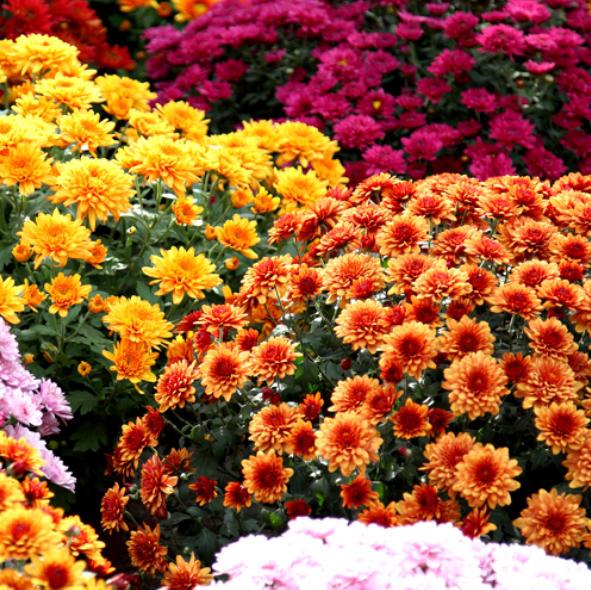 Kugel-Chrysantheme