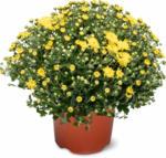 Migros Basel «Aus der Region.» Chrysanthemen multiflora