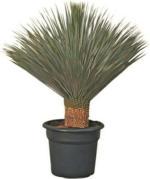 Yucca Rostrata P35l