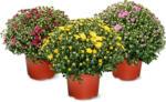 Migros Wallis/Valais Chrysanthème Garden Mums «De la région.»
