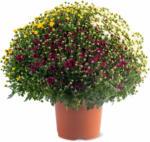 Migros Aare «Aus der Region.» Chrysanthemen Tricolor