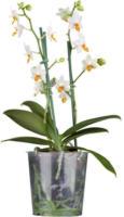 Mini Schmetterlings-Orchidee 2 Trieber, weiß, 15-35 cm