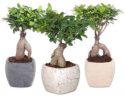 Ficus Ginseng in Viereck Keramik
