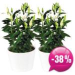 Blumen B&B Lilien im Topf - bis 10.06.2018
