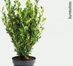 bellaflora Wels Ilex Kugel Robustico - bis 12.03.2018