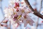 bellaflora Wels Märzkirsche - bis 12.03.2018