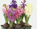 bellaflora Wels Hyazinthen - bis 12.03.2018