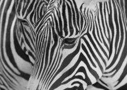 """Glascard Glasbild """"Zebra"""" - A3 420x297mm"""