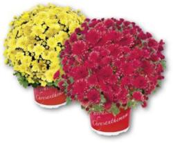 Mini Chrysanthemenbusch