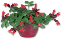 Lippenstiftblume im Keramiktopf