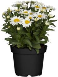 Großblumige Garten-Margerite Western Star, weiß